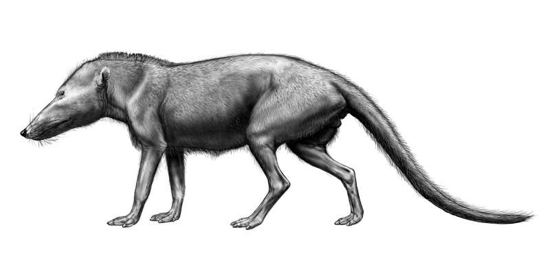 Pakicetus, un ancêtre de la baleine plus ancien, et qui préférait la terre ferme. © Carl Buell / http://www.neoucom.edu/Depts/Anat/Pakicetid.html