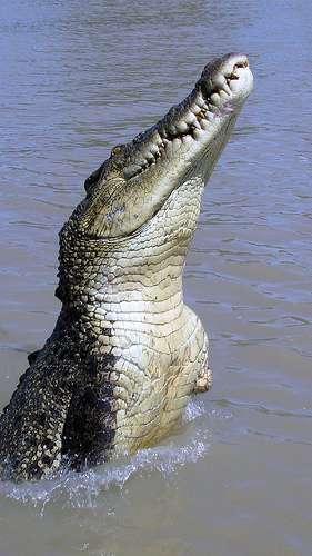 Ce crocodile marin bondissant hors de l'eau n'est pas le plus long des reptiles, mais il en est le plus massif représentant actuel. © Susan Renee CC by-nc-sa 2.0