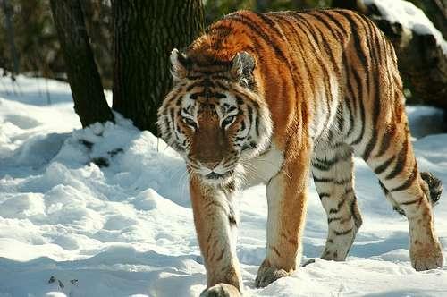 Un tigre de Sibérie, ou tigre de l'Amour, le plus grand parmi toutes les sous-espèces. © Alan(ator) CC by