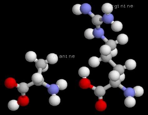 Acides aminés (alanine, arginine)