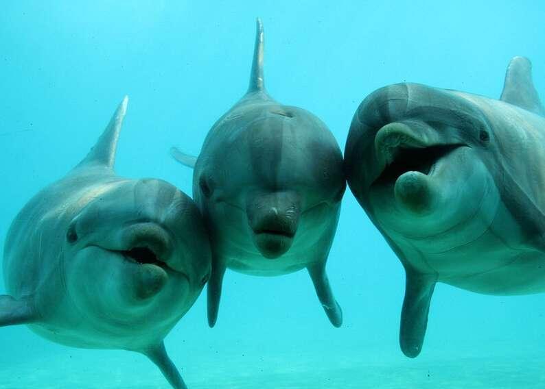 Le Tursiops, qui vit dans tous les océans tempérés et tropicaux, est l'espèce de dauphin la plus sociable. Il vit en société, et est soumis à une hiérarchie. S'il désobéit aux règles de sa troupe, il peut se faire bannir du groupe pour devenir un dauphin solitaire. © Planète Sauvage 2011