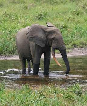 L'éléphant de forêt d'Afrique est plus petit que son homologue de la savane, mais il est essentiel à la survie de la forêt tropicale de l'Afrique centrale. La convoitise que suscite l'ivoire a pourtant réduit de 62 % la population de cette espèce. Au Gabon, 11.000 éléphants de forêt d'Afrique ont été tués entre 2004 et 2012. © Peter H. Wrege, Wikipédia, cc by sa 3.0
