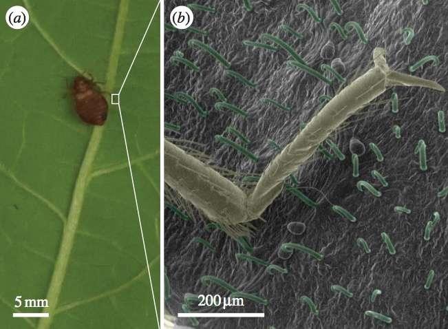 À gauche, on remarque une punaise de lit sur une feuille de haricot. À droite, la patte du parasite est transpercée par les trichomes présents à la surface de la feuille. © M. Szyndler, C. Loudon, université de Californie à Irvine