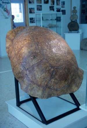 Une carapace de tortue géante du miocène. Crédit : Educarm
