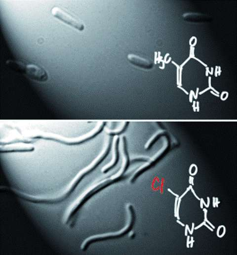 Une molécule d'uracile et sa variante, utilisée par les chercheurs et représentée en bas sur ce schéma. L'atome de chlore est indiqué en rouge. © John Wiley & Sons