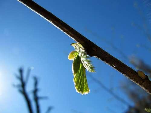 Les bourgeons caulinaires de cette branche s'ouvrent. © notfrancois CC by 2.0