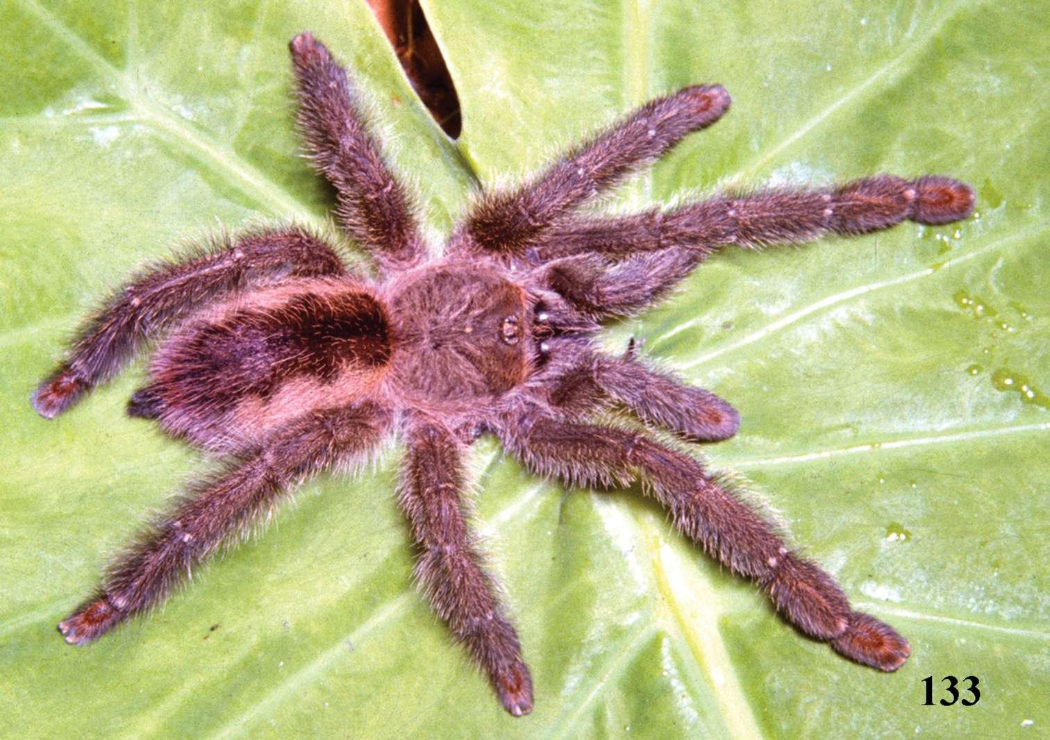 La mygale Iridopelma vanini est l'une des quatre espèces Iridopelma qui ont été découvertes dans l'est et le centre du Brésil. Comme les seize nouvelles espèces découvertes, c'est une mygale arboricole. © Rogério Bertani, CC-BY 3.0
