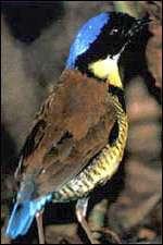 Brève de Gurney (Pitta gurneyi). Source : Philip Round www.orientalbirdclub.org.