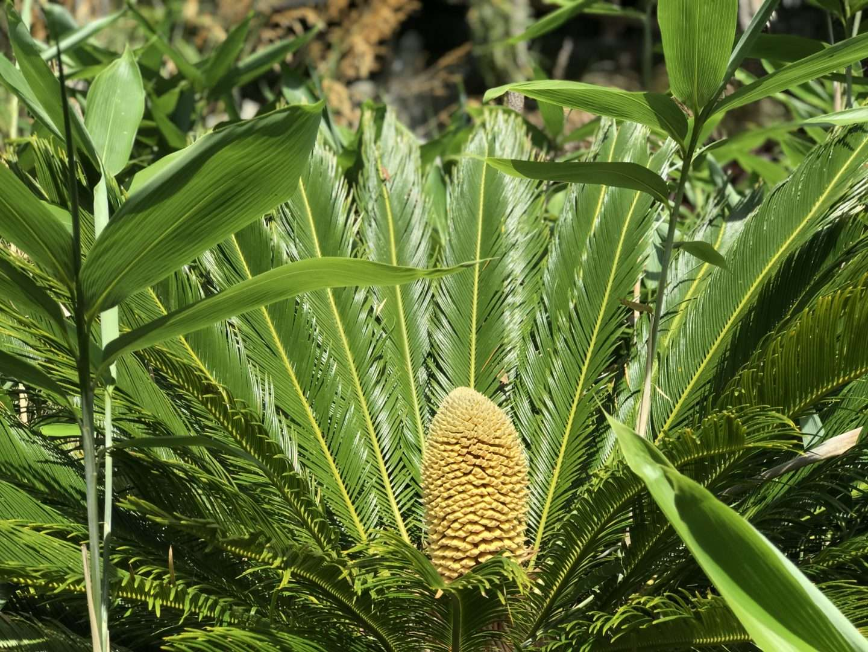 Un cycas a produit des cônes mâles et femelles en extérieur pour la première fois depuis 60 millions d'années en Angleterre. © Ventnor Botanic Garden