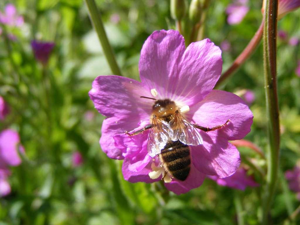 Il existerait actuellement environ 20.000 espèces d'abeilles sur Terre. Les ruches contiennent en moyenne 40.000 à 60.000 abeilles mellifères. © Humpapa, Flickr, CC by-nc 2.0