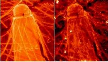 Ces diatomées ont été extraites de l'océan Austral durant une campagne en mer de l'équipe du chercheur Ellery Ingall. De retour sur la terre ferme, les scientifiques ont montré que ces organismes du phytoplancton captent le fer pour leur développement, mais le stockent aussi dans son enveloppe de silice. © Georgia Tech