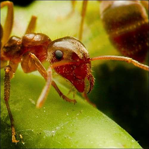 Les fourmis, comme l'ensemble des insectes, possèdent un labium. © ViaMoi, Flickr, cc by nc nd 2.0