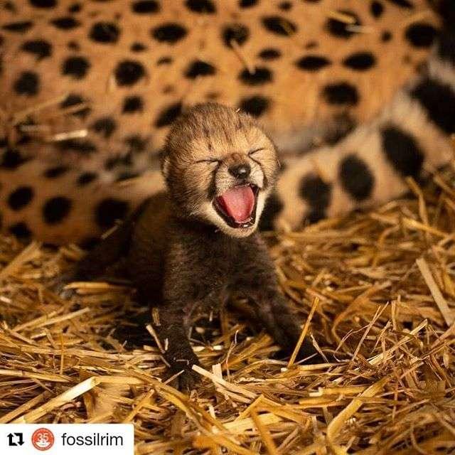 Le petit mâle et la petite femelle guépard, nés à une heure d'intervalle, pèsent respectivement 480 et 350 grammes. Ils sont en excellente santé et têtent avec appétit leur mère Izzy. © Columbus Zoo and Aquarium, Instagram