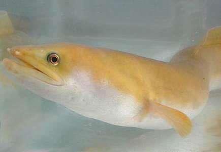 Anguille du Mozambique. © ARDA