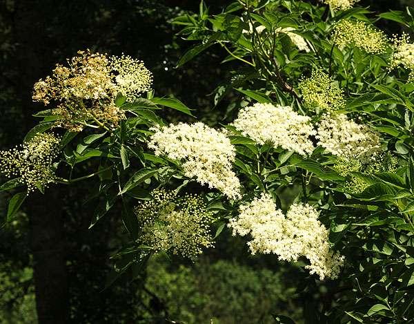 Le sureau noir est riche en vitamine C. © F. Le Driant / FloreAlpes.com