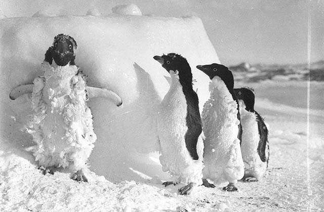 Des manchots en plein blizzard photographiés en Terre Adélie par Frank Hurley entre 1911 et 1914. Dans ces régions polaires, le réchauffement se fait déjà sentir. © State Library of New South Wales/Flickr Licence Creative Commons (by-nc-sa 2.0)