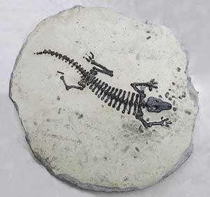 Les fossiles ne permettent pas toujours de déterminer l'apparition des espèces, puisque certaines ne laissent pas de fossiles, ce sont des lignées fantômes. © DR