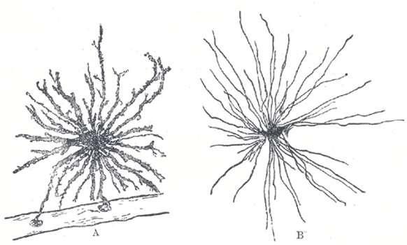 Cellules gliales vues au microscope par coloration de Golgi. © Diberri, Wikipédia DP