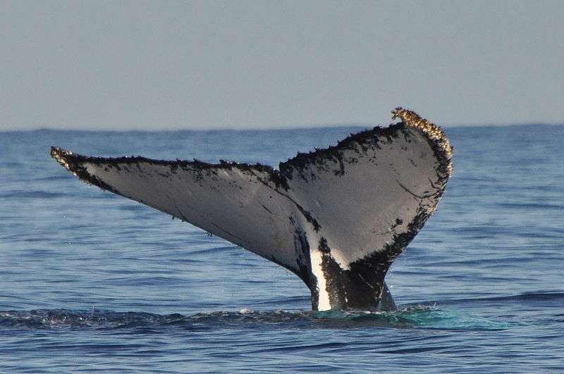 Les baleines à fanons et les cachalots figurent parmi les plus grands mammifères du monde. Décimées de 66 à 90 % du temps de leur chasse, les populations se repeuplent depuis quelques décennies. © Annerun974, Wikimedia Commons, cc by sa 3.0