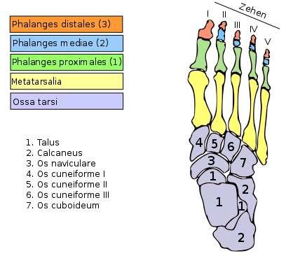 Les métatarses (en jaune) sont au nombre de cinq. © VonTasha, Wikimedia, CC by-sa 3.0