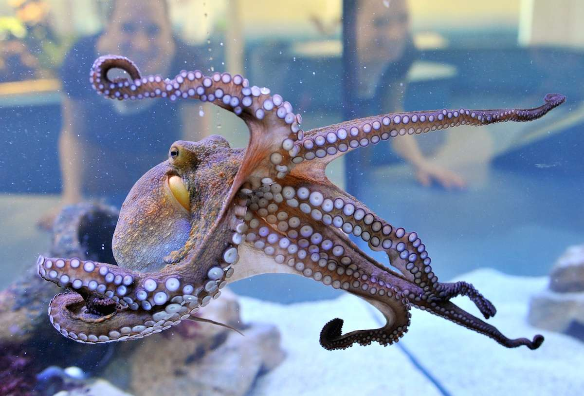 Le poulpe est une source d'inspiration pour le monde médical. © Uli Deck, DPA, AFP