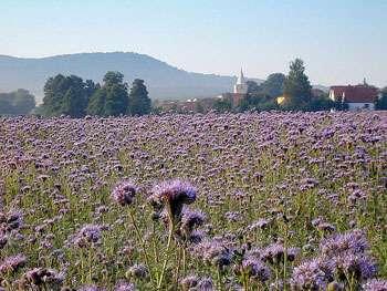 La phacélie permet de lutter contre les mauvaises herbes © Winfried Gaenssler GNU Free Documentation License Wikipedia