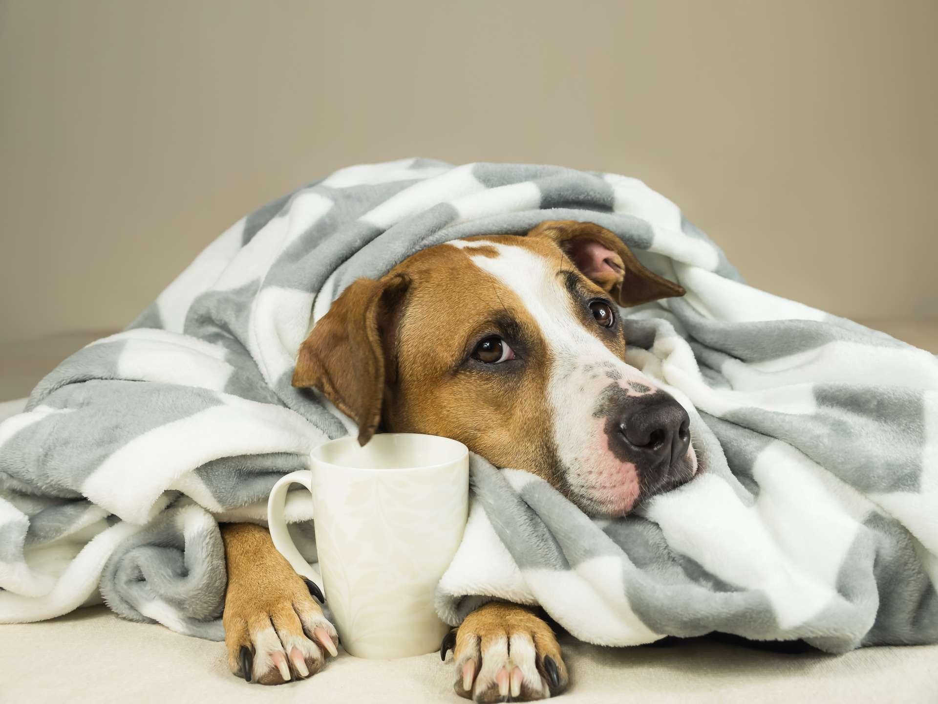 À Hong Kong, le premier cas de chien contaminé par le Covid-19 a été confirmé. © Photoboyko, Adobe Stock