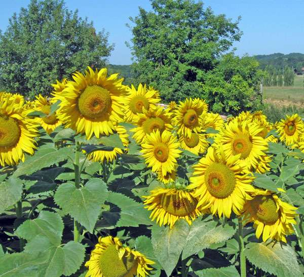 Les fleurs de tournesol produisent de grandes quantités de graines riches en huile. © Gc85, Wikimedia CC by-sa 3.0