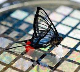 Un papillon a pu être détecté par la grande sensibilité de la peau artificielle mise au point à l'Université de Stanford. © Linda Cicero / Stanford University