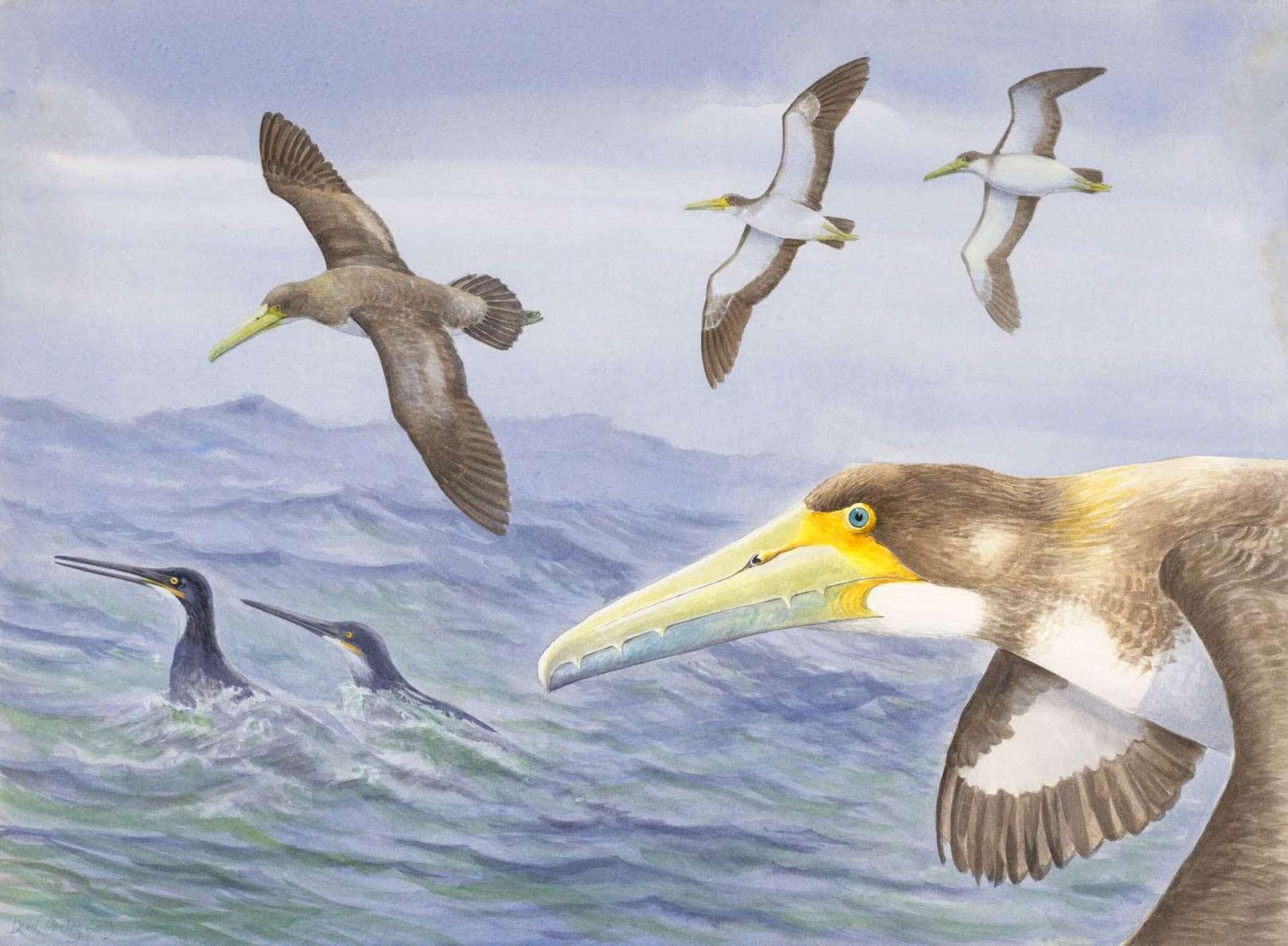 Le plus vieil oiseau découvert au monde n'était pas plus grand qu'une mouette moderne. © Derek Onley, Canterbury Museum.
