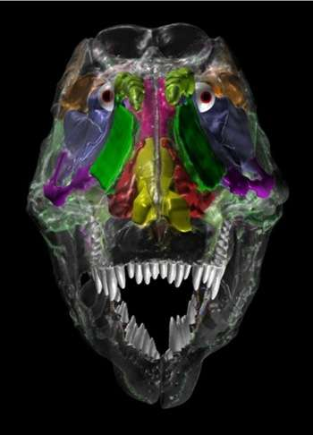 Une image inhabituelle du crâne de Tyranosaurus rex réalisée grâce à un scanner, montrant de nombreuses cavités (zones artificiellement colorées), allégeant la tête de l'animal. © Ohio University College of Osteopathic Medicine