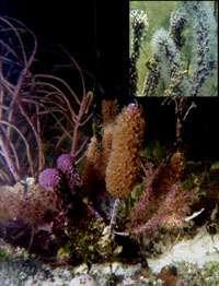 Les coraux ne sont pas décidés à laisser filer leurs zooxanthelles !