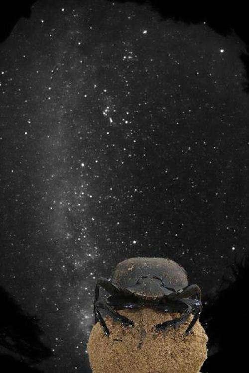 Le bousier (Scarabaeus satyrus) a besoin de repères visuels pour marcher droit. Le jour, il utilise le soleil ; la nuit, il utilise préférentiellement la Lune. Quand elle se cache, il se sert alors de toute la voûte céleste, y compris de la Voie lactée, pour s'éloigner de la bouse, sa boule entre les pattes. © Avec l'aimable autorisation d'Emily Baird