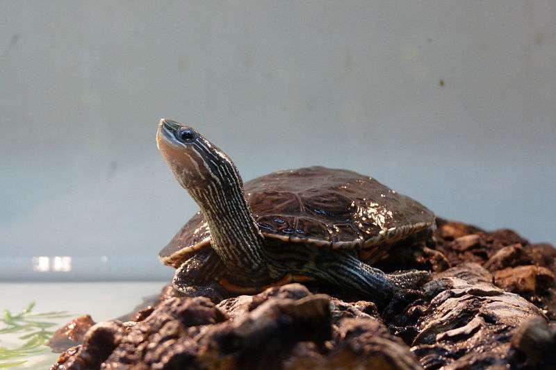 La tortue Mauremys rivulata vit en milieu méditerranéen. Elle tolère des eaux polluées et saumâtres. Le manque de diversité génétique de cette espèce sur une vaste aire géographique s'expliquerait par sa capacité à traverser les mers. © Étienne Boncourt, Wikimedia Commons, cc by sa 3.0