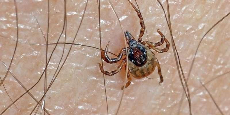 L'homme touché par le virus avait été mordu par des tiques qui sont des vecteurs d'agents pathogènes. © Christophe Quintin, Flickr, CC by-nc 2.0