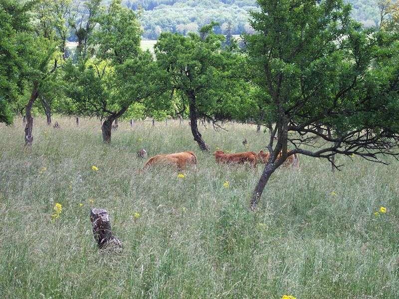 Des vaches rousses dans un verger, un exemple d'agroforesterie traditionnel. © TitTornade CC by-sa