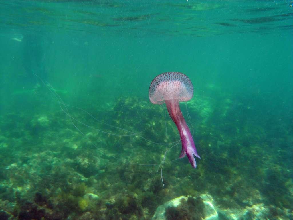 La méduse Pelagia noctiluca est un cnidaire de la classe des scyphozoaires. Elles peuvent former des bancs de plusieurs milliers d'individus se déplaçant au gré des courants. Cet animal pélagique est présent dans toutes les eaux chaudes et tempérées du globe. © owenwangensteen, Flickr, CC by-na 2.0