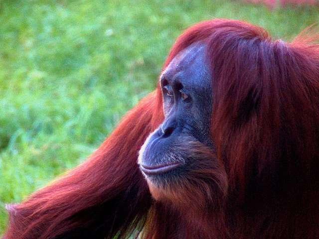 Les orangs-outans sont des primates du genre Pongo dont les deux espèces sont considérées comme menacées par l'UICN © Cohiba jack, Flickr, cc by nc nd 2.0