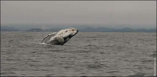 Très chassées, les baleines grises ont fini par retrouver la taille naturelle de leur population, environ 20.000 individus, grâce aux efforts de protection. © guilmay-flickr-CC BY-NC-ND 2.0