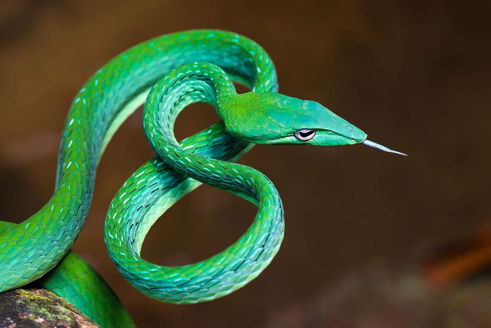 Le serpent liane asiatique (Ahaetulla prasina) se distingue par son museau pointu, son corps fin et sa couleur généralement vert-feuille, lui permettant de se mouvoir avec agilité au sein de la végétation. © Rushenb, CC By-SA 4.0, Wikimedia Commons