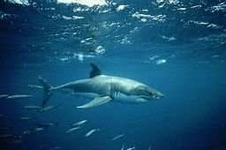 Non, le cartilage du requin n'est pas la solution contre le cancer !