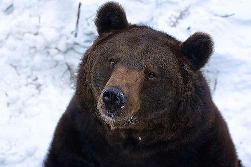 L'ours brun est un méliphage connu. © Geoffrey Gilson, Flickr, cc by nc nd 2.0