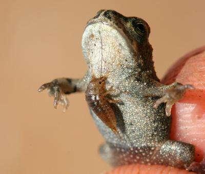 Une larve de carabidé attaque un amphibien, son habituel prédateur. © Gil Wizen/AFTAU