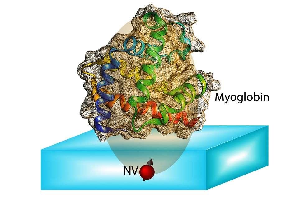 Le spin d'un centre coloré NV sous la surface d'un diamant peut être complètement polarisé optiquement. Le transfert de cette polarisation aux spins nucléaires dans la protéine située tout près permet de mesurer des couplages entre les spins au sein de la molécule. La structure des protéines peut alors être calculée à partir des informations contenues dans ces couplages. © MIT