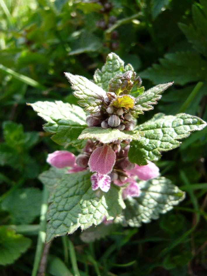 On peut soigner les plantes par les plantes avec L'ail, l'ortie, etc. Beaucoup de plantes ont des propriétés intéressantes. © Piuu, Camptocamp, CC BY-NC-ND 2.0