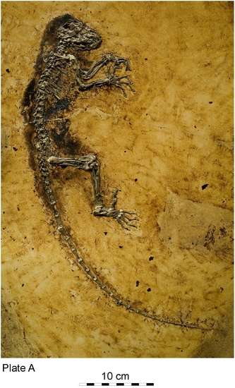 La petite lémurienne Ida, alias Darwinius masillae, attendait depuis 47 millions d'années de se montrer à ses descendants humains. © Jens L. Franzen et al. / PlosOne