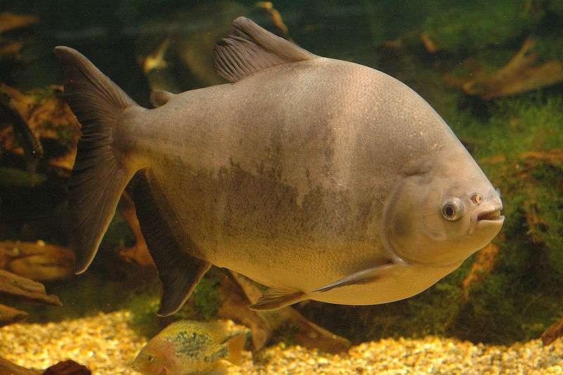 Le poisson géant Colossoma macropomum peut transporter les graines jusqu'à 5 kilomètres de distance par rapport à son point d'origine. © Tino Strauss, Wikimedia, CC by-sa 3.0