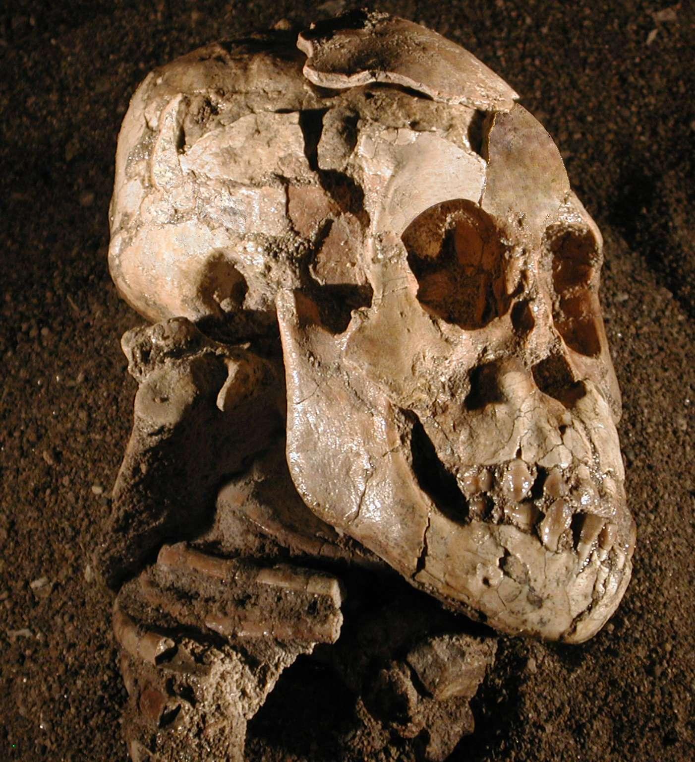 Vue latérale du crâne, de la face et de la mandibule de Selam, un Australopithecus afarensis de 3 ans ayant vécu voici 3,3 millions d'années. L'omoplate droite complète est visible, avec sa cavité glénoïde, son acromion et son processus coracoïde, sous l'arrière du crâne, à gauche de la mâchoire et au-dessus des côtes. © Zeray Alemseged, Dikika Research Project