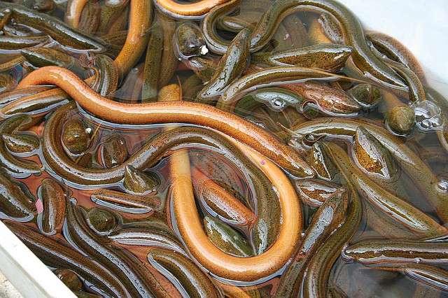 L'anguille est un poisson gras. © Mederic-Flickr CC by nc nd 2.0
