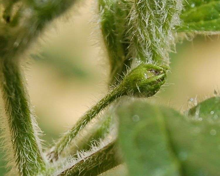 Les trichomes, des sortes de poils végétaux, sont clairement visibles sur ce rocoto (Capsicum pubescens), une plante qui produit des piments forts. © Lrothc, Wikimedia commons, cc by sa 2.5